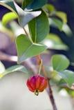Árbol de la cereza o del pitanga de Suriname con las frutas Imagenes de archivo
