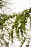 Árbol de la conífera con los conos verdes del pino sobre fondo del cielo Fotos de archivo