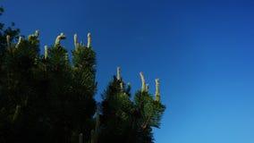 Árbol de la conífera en fondo del cielo azul imágenes de archivo libres de regalías