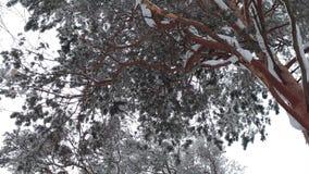Árbol de la conífera en invierno almacen de video