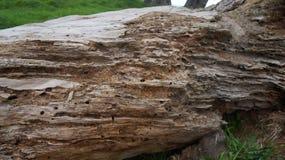 Árbol de la descomposición comido por las comidas de Huhu foto de archivo libre de regalías
