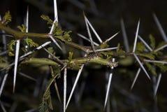 Árbol de la espina del acacia fotografía de archivo