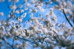 Árbol de la flor de cerezo con las flores Imagen de archivo