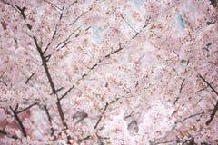 Árbol de la flor de cerezo en primavera Foto de archivo libre de regalías