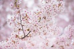 Árbol de la flor de cerezo en primavera Fotos de archivo libres de regalías