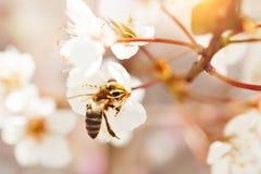 Árbol de la flor de cerezo en primavera con las flores hermosas Jardinería Foco selectivo Imagen de archivo