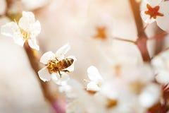Árbol de la flor de cerezo en primavera con las flores hermosas Jardinería Foco selectivo Imagenes de archivo