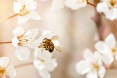 Árbol de la flor de cerezo en primavera con las flores hermosas Jardinería Foco selectivo Imágenes de archivo libres de regalías