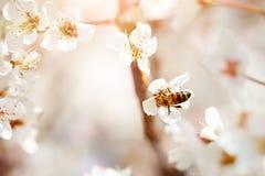 Árbol de la flor de cerezo en primavera con las flores hermosas Jardinería Foco selectivo Fotografía de archivo