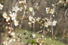 Árbol de la flor de cerezo, flores con los pétalos blancos, abeja en la flor Fotos de archivo libres de regalías