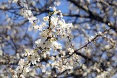 Árbol de la flor de cerezo, flores con los pétalos blancos, abeja en la flor Imagen de archivo libre de regalías