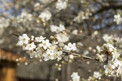 Árbol de la flor de cerezo, flores con los pétalos blancos, abeja en la flor Imágenes de archivo libres de regalías