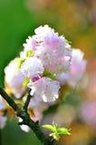Árbol de la flor de cerezo de la primavera Fotografía de archivo libre de regalías