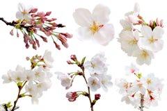 Árbol de la flor de Sakura de la plena floración aislado con la trayectoria de recortes Foto de archivo