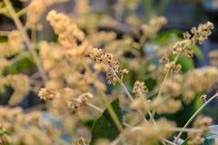 Árbol de la flor del mango fotografía de archivo libre de regalías
