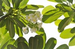 Árbol de la flor o de templo del Plumeria fotografía de archivo