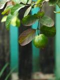 Árbol de la guayaba con las hojas Fotos de archivo
