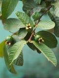 Árbol de la guayaba con las hojas Foto de archivo libre de regalías
