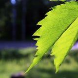 Árbol de la hoja Imágenes de archivo libres de regalías