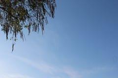 Árbol de la hoja en fondo del cielo azul Fotos de archivo libres de regalías