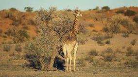 Árbol de la jirafa y del acacia almacen de metraje de vídeo