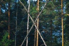 Árbol de la letra x entre pino caido de los troncos de árbol de los árboles fotos de archivo libres de regalías