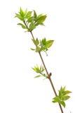 Árbol de la lila de la ramificación imagen de archivo libre de regalías