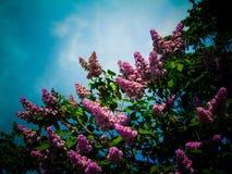 Árbol de la lila El tiempo de primavera… subió las hojas, fondo natural Belleza púrpura Imágenes de archivo libres de regalías