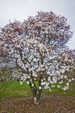 Árbol de la magnolia Imagen de archivo libre de regalías