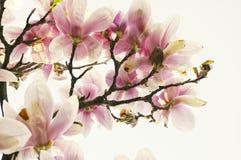 Árbol de la magnolia Imagenes de archivo