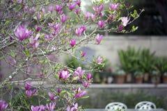 Árbol de la magnolia foto de archivo libre de regalías