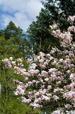 Árbol de la magnolia Fotos de archivo