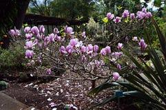 Árbol de la magnolia con las flores Fotografía de archivo