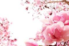 Árbol de la magnolia del resorte en la floración imagen de archivo