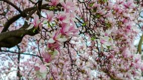 Árbol de la magnolia en el parque de Milán Foto de archivo libre de regalías