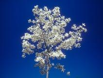 Árbol de la magnolia en la floración. Foto de archivo libre de regalías