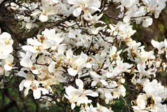Árbol de la magnolia en la floración Fotos de archivo libres de regalías
