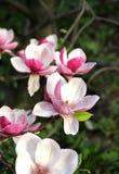 Árbol de la magnolia en la floración Imagen de archivo