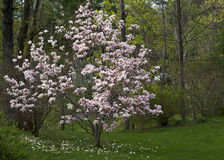 Árbol de la magnolia en la floración Imagenes de archivo