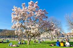 Árbol de la magnolia en Suttgart Foto de archivo