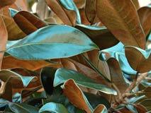 Árbol de la magnolia meridional Fotos de archivo libres de regalías