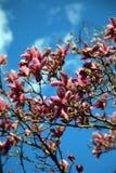 Árbol de la magnolia y cielo azul fotografía de archivo