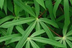 Árbol de la mandioca Fotos de archivo