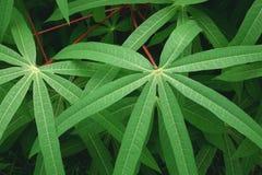 Árbol de la mandioca Foto de archivo libre de regalías