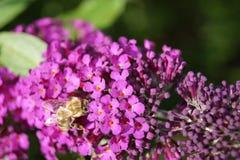 Árbol de la mariposa - davidii de Buddleja Foto de archivo libre de regalías