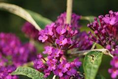 Árbol de la mariposa - davidii de Buddleja Fotografía de archivo
