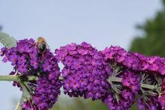 Árbol de la mariposa - davidii de Buddleja Fotos de archivo libres de regalías