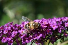 Árbol de la mariposa - davidii de Buddleja Fotografía de archivo libre de regalías