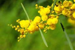 Árbol de la mimosa fotos de archivo