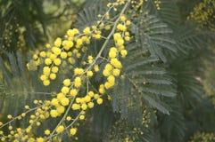 Árbol de la mimosa Imagenes de archivo
